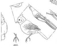 Song Birds & Misc.
